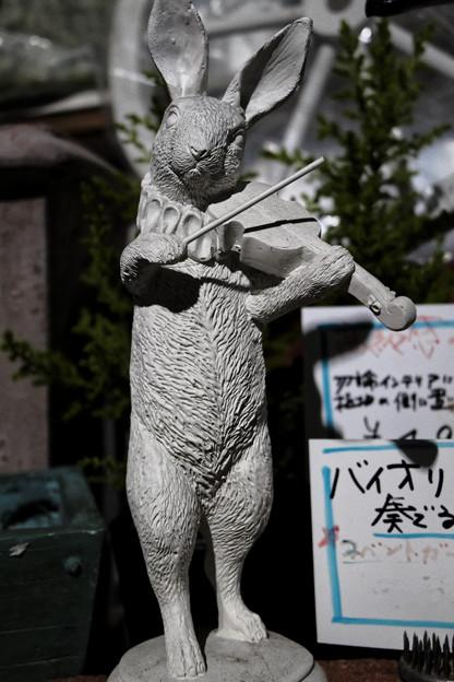 Photos: ウサギのバイオリン弾き(RAW)