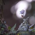 2017 春の妖精 ユキワリイチゲ8