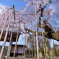 2017 善光寺の垂れ桜3