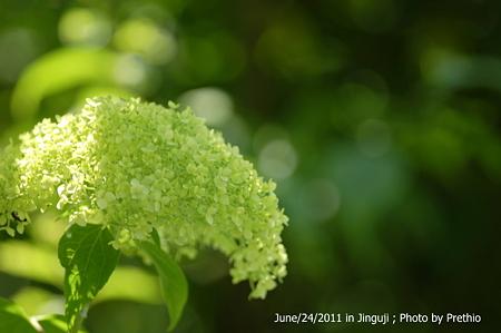 神宮寺の紫陽花(7)