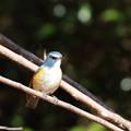写真: 青い鳥2