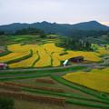 Photos: 収穫の始まった棚田