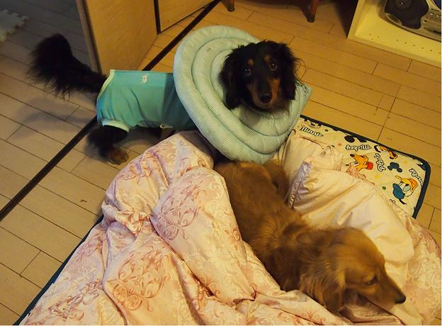 写真: 術後服とエリザベスカラー