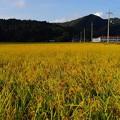 写真: 収穫間近(1)