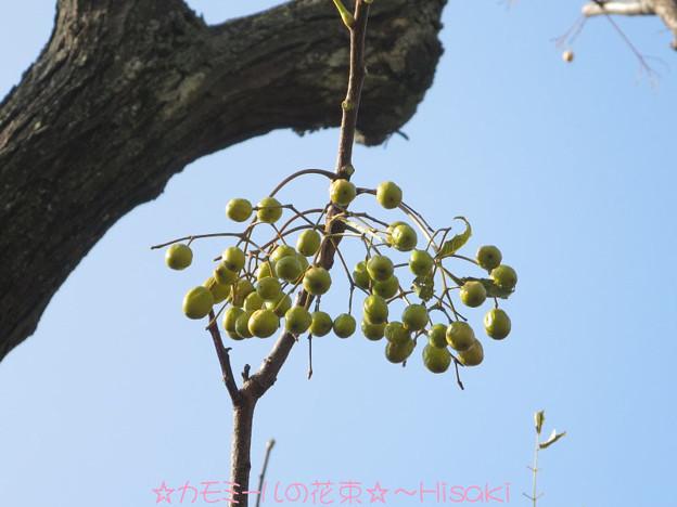 Photos: 栴檀