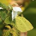 写真: 野イチゴにキチョウ
