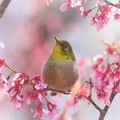 とっくに終わった早春桜にも