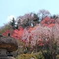 写真: 福島 花見山公園 130422 04