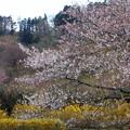 写真: 福島 花見山公園 130422 05