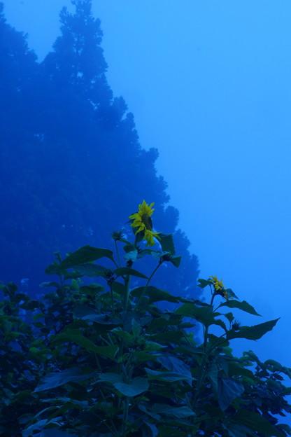 山里の向日葵
