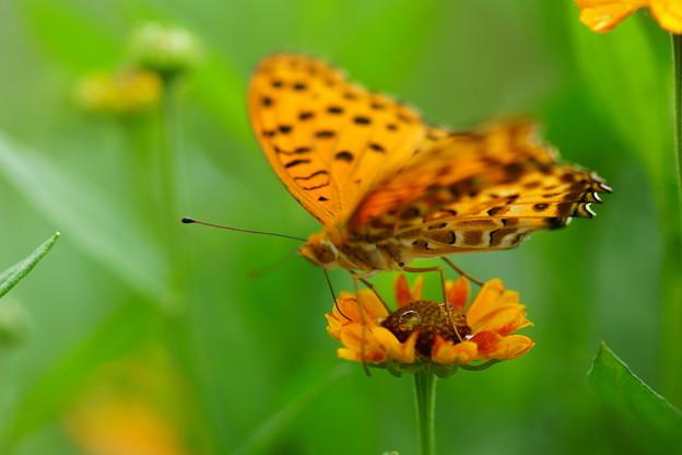 蝶とヘレニューム
