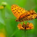 写真: 蝶とヘレニューム