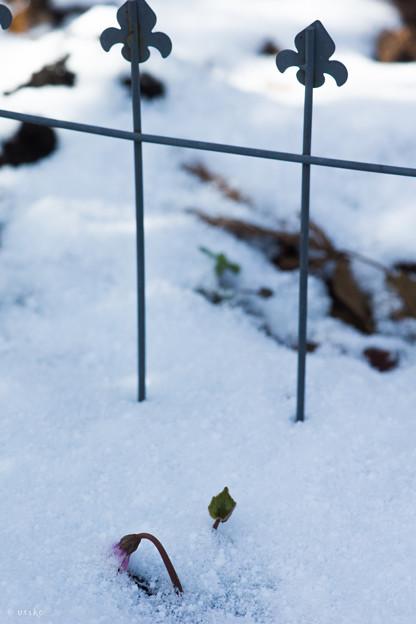淡雪と原種シクラメン