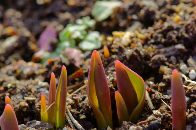 tulip芽だし