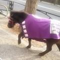 Photos: お茶の水で横を神田明神のあかりちゃんが通過!(馬) びっくりした笑 #神社裏でも遭遇  #神田明神  #ありがとうございました