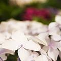 Photos: 鹿児島の紫陽花