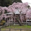 いわしだれざくら太平山大山寺20173.4.3