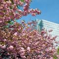 Photos: 旧北海道庁の桜