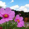 秋たけなわ~香山の秋桜~