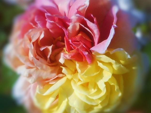 Photos: 三色に咲く カラフルな薔薇 in ばら祭2016
