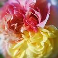 三色に咲く カラフルな薔薇 in ばら祭2016