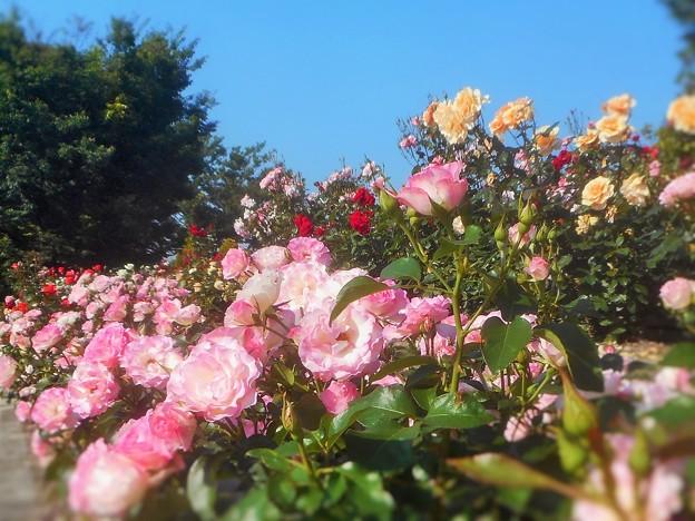 ローズヒルは花盛り1