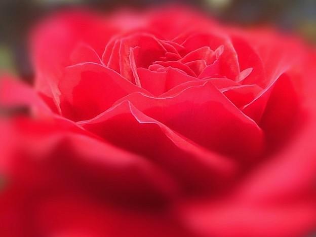 """赤い薔薇 """"鞆の浦"""""""