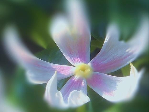 ややミステリアスな ミルククラウンの花