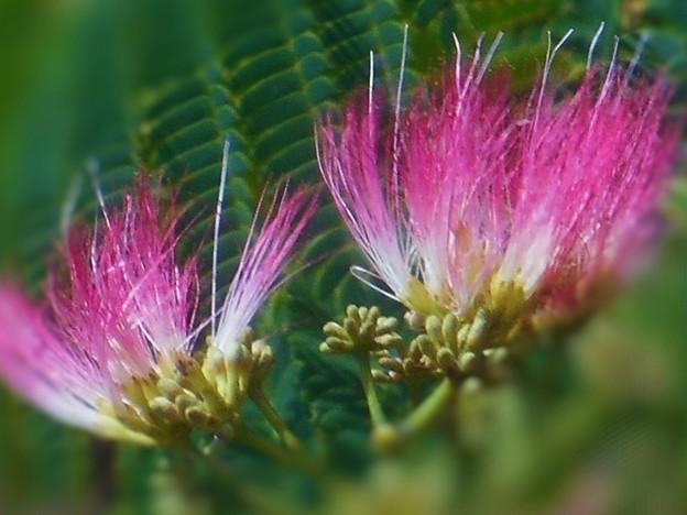 初夏の風にそよぐ 合歓(ねむ)の花