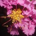 初夏に咲く 百日紅(さるすべり)の花