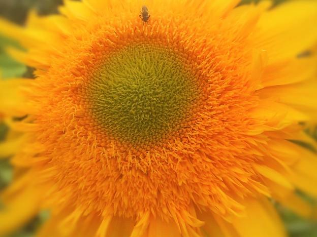 完熟前の 八重のサンフラワーに ポツリと蜜蜂