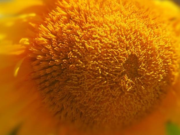 とても不思議な ヒマワリの花(新品種)