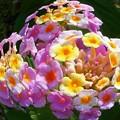 Photos: 魚眼チックな ランタナの花