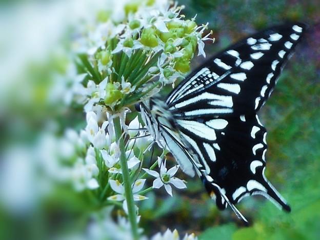 Photos: ハナニラの花蜜を吸う アゲハチョウ