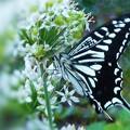 ハナニラの花蜜を吸う アゲハチョウ