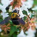 白いアベリアの花に 大きなヘビー級のクマバチさん