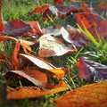 桜の紅葉 落ち葉の季節 in 千光寺山