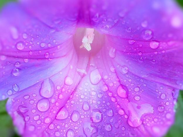 雨上がりの 琉球朝顔 in 初冬の瑠璃山
