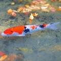 晩秋の崑崗(こんこう)池の緋鯉