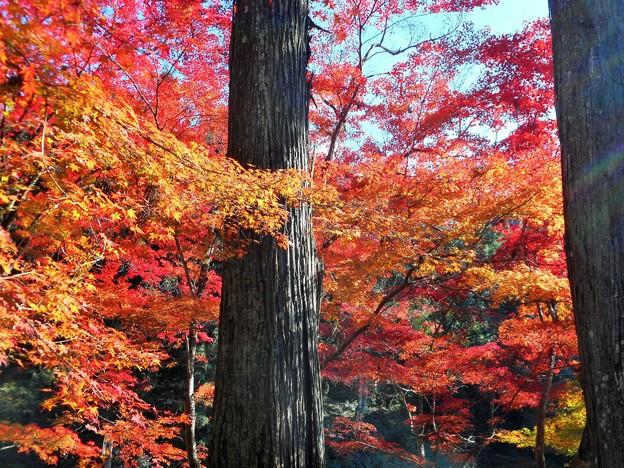 参道の杉木立と紅葉 in 臨済宗大本山仏通寺