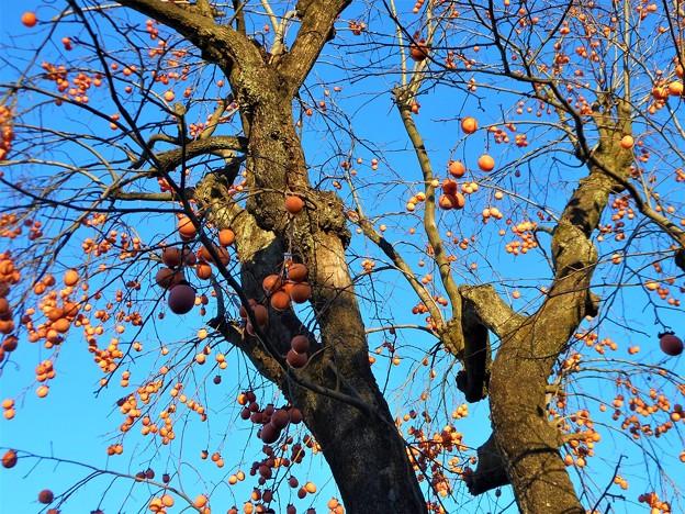 瑠璃山の冬柿の木2017.1.16