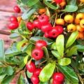 Photos: ピラカンサスの赤い実・オレンジ色の実