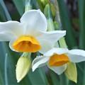 朝露を帯びる 新春の日本水仙