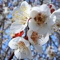 ほのかに香る 満開の白梅