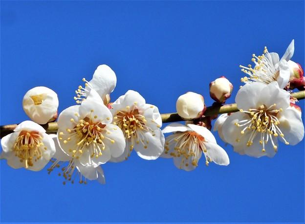元気に爽やか 梅の花