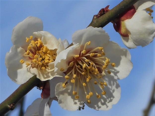 瑠璃山の白梅の花