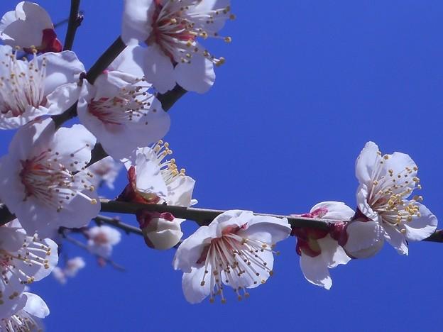 梅園の 白い梅の花
