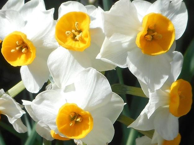 春風に元気よく咲く 日本水仙たち