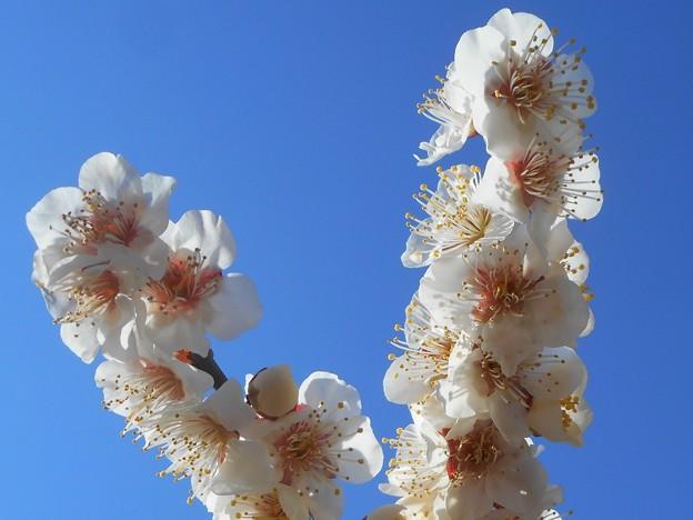 一斉に咲く瑠璃山の白梅