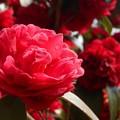 赤い八重の寒椿@春雨